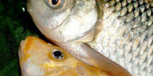 Comment déguster une carpe fraîchement pêchée ?